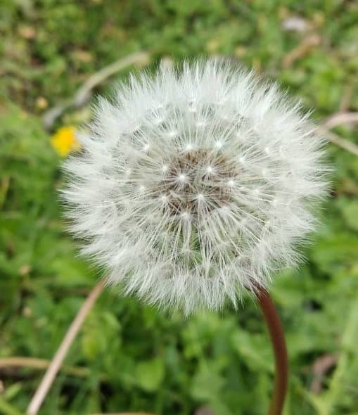 Dandelion fluffy seed head.