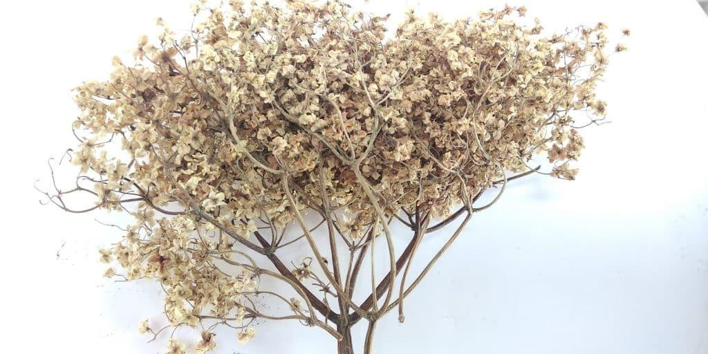 Elderberry dried flower on white background.