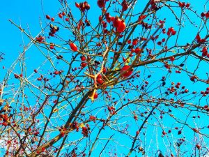 Rose Hips Benefits, Uses, Harvesting, Side Effects
