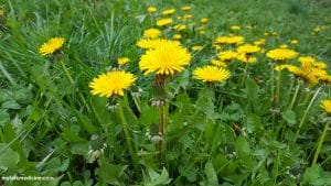 Dandelion: Overview, Benefits, Recipes