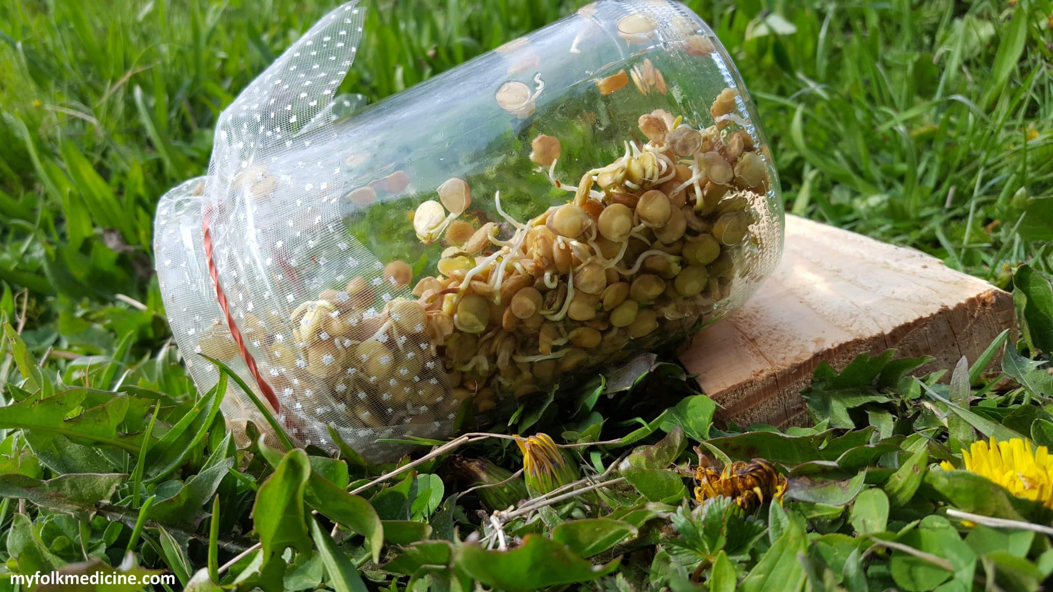 How to Grow Lentil Sprouts in a Jar for Salad