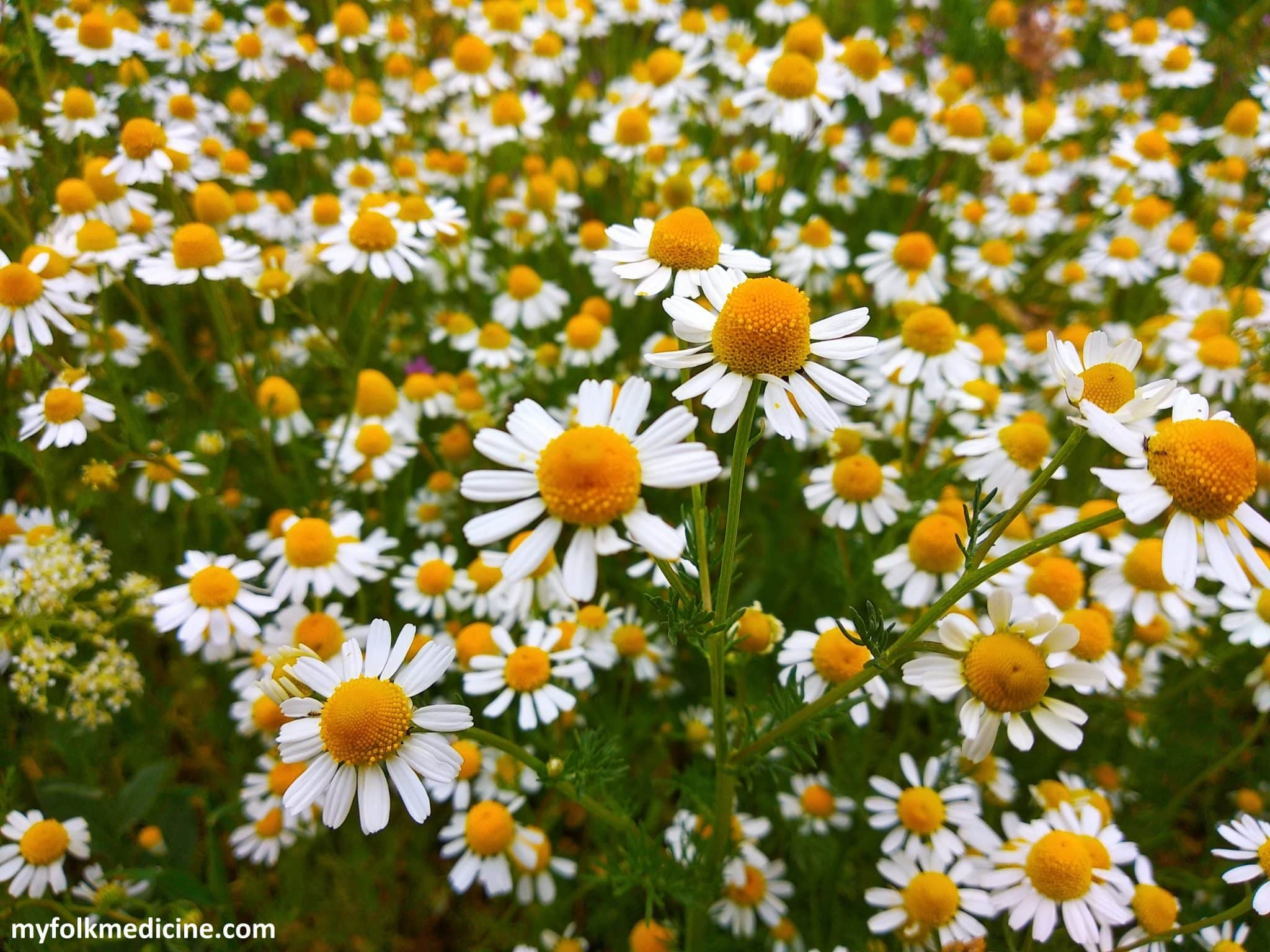 Chamomile – What Makes It Healthy?