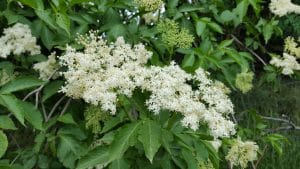 Elderberry Tree-Overview, Experience, Recipes